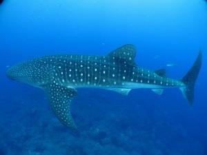 whale-shark-541836 1280